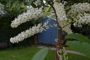 Garden Shed with blossom
