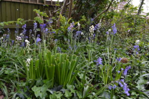 Bluebells have self seeded throughout the grounds
